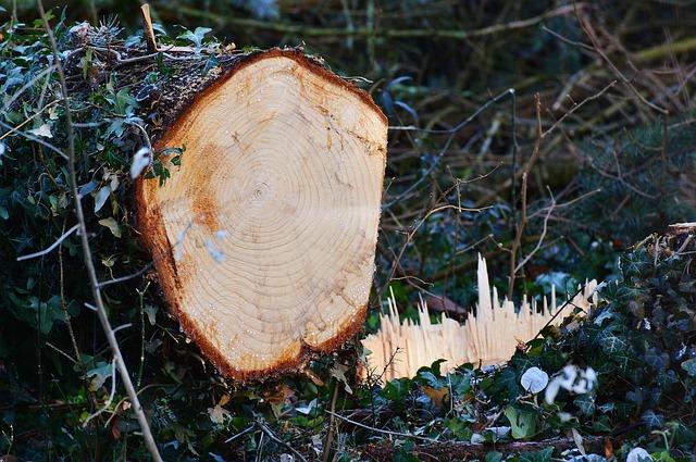 Harz im Holz